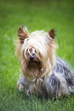 Mini yorkshire terrier pup playing Royalty Free Stock Photos