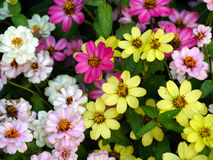 Mini Zinnia flowers. Multi colours of Zinnia flowers Royalty Free Stock Photos