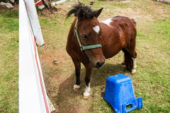 Mini zwergartiges Pferd an einem Bauernhof Stockbild