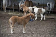 Mini zwergartiges Pferd in einer Weide an einem Bauernhof stockfotografie