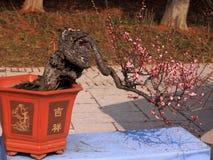 Miniascape del fiore della prugna Fotografie Stock