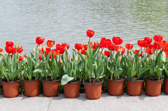Miniascape of tulips Stock Images