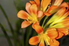 Miniata Clivia κρίνων στοκ φωτογραφία με δικαίωμα ελεύθερης χρήσης