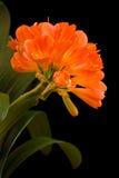 miniata clivia Стоковые Фотографии RF