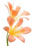 Miniata de Clivia Imagem de Stock Royalty Free