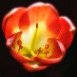 Miniata de Clivia en la plena floración foto de archivo