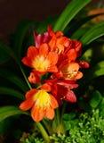 Miniata rouge de Clivia, Photographie stock