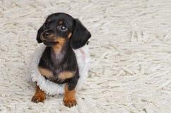 Miniatur-dascshund Stockbild