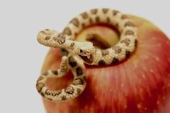 Miniatur einer Klapperschlange mit einem roten Apfel Stockbild