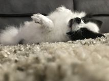 Miniatur-sonderbare Haltung Pomeranian stockfotografie