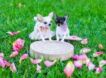 Miniaturas del perro de la chihuahua imagenes de archivo
