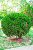 Miniaturbaum Stockfoto
