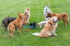 Miniaturdachshund mitten in einer Gruppe einiger großer Hunde lizenzfreie stockbilder