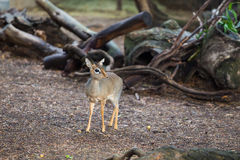 Miniature African Deer Fawn. On some wood chips watching out for predators Stock Photo