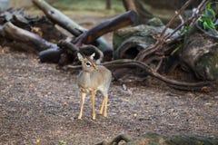 Miniature African Deer Fawn Stock Photo