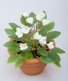 Miniature african violet (senpolia) Royalty Free Stock Photos