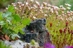 Miniature alpine ibex on a rock surrounded by flowers stock photography