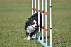 Miniature American (formerly Australian) Shepherd at Dog Agility Trial Royalty Free Stock Photos