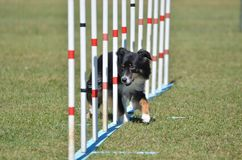 Miniature American (formerly Australian) Shepherd at Dog Agility Trial. Miniature American (formerly Australian) Shepherd Doing Weave Poles at Dog Agility Trial royalty free stock photos