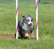 Miniature American (formerly Australian) Shepherd at Dog Agility Trial. Miniature American (formerly Australian) Shepherd Doing Weave Poles at Dog Agility Trial stock images