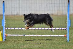 Miniature American (formerly Australian) Shepherd at Dog Agility Trial. Miniature American (formerly Australian) Shepherd Leaping Over a Jump at Dog Agility royalty free stock image