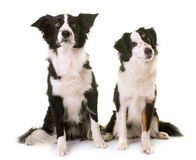 Miniature american shepherd and border collie. In front of white background stock images