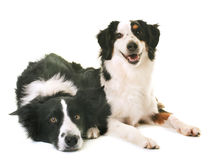 Miniature american shepherd and border collie. In front of white background royalty free stock photos