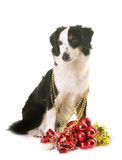 Miniature american shepherd and christmas. In front of white background stock photos
