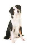 Miniature american shepherd. In front of white background royalty free stock image