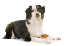 Miniature american shepherd. In front of white background royalty free stock images