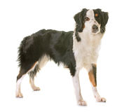 Miniature american shepherd. In front of white background stock image