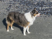 Miniature American Shepherd On Mussel Beach. Miniature Australian American Shepherd On Mussel Beach stock images
