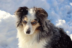 Australian Shepherd Sprinkled With Snow Royalty Free Stock Image