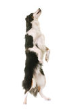 Miniature american shepherd standing up. In front of white background royalty free stock photography