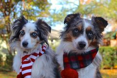 Miniature American Shepherds Wearing Christmas Scarves Royalty Free Stock Photos