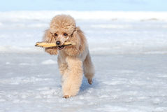 Miniature poodle plays with a dry branch Royalty Free Stock Photo