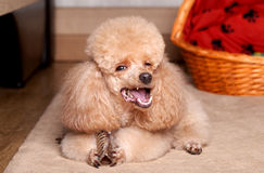 Miniature Apricot Poodle eat dry bone Royalty Free Stock Photography