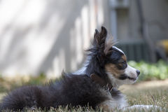 Miniature Australian Shepherd Royalty Free Stock Photos