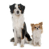 Miniature australian shepherd and chihuahua. In front of white background royalty free stock photography
