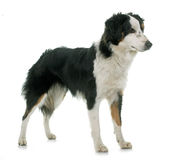 Miniature australian shepherd. In front of white background stock images