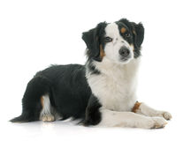 Miniature australian shepherd. In front of white background stock image