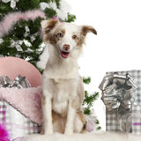 Miniature Australian Shepherd puppy, 1 year old Stock Image