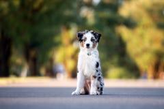 Miniature australian shepherd puppy outdoors in summer royalty free stock image
