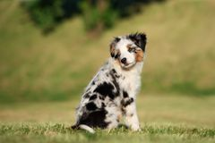 Miniature australian shepherd puppy outdoors in summer. Miniature australian shepherd puppy outdoors royalty free stock photography