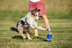Miniature australian shepherd puppy playing outdoors in summer. Miniature australian shepherd puppy outdoors royalty free stock photos