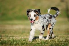 Miniature australian shepherd puppy outdoors in summer stock images