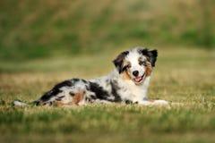 Miniature australian shepherd puppy outdoors in summer stock photo