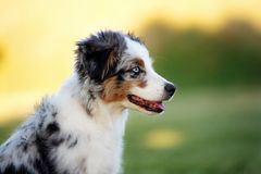 Miniature australian shepherd puppy outdoors in summer. Miniature australian shepherd puppy outdoors stock photo