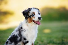 Miniature australian shepherd puppy outdoors in summer. Miniature australian shepherd puppy outdoors royalty free stock images