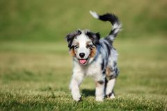 Miniature australian shepherd puppy outdoors in summer. Miniature australian shepherd puppy outdoors royalty free stock image